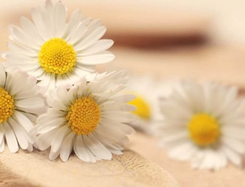 The Beauty Benefits and Uses of Chamomile Essential Oil
